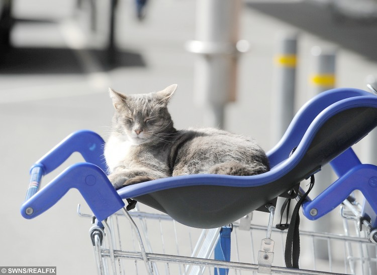 Since the island's only Tesco store opened in 2010, the feline has spent every day having cat naps in the trolleys outside the supermarket.