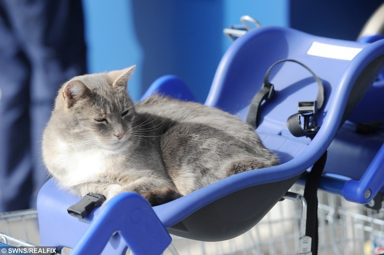 A cat has become a celebrity due to it spending every day lounging around in trolleys outside Tesco.