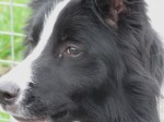 Adorable border collie can't find 'forever home' due to fear of ACTION films