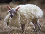 Little lamb born without fleece makes miracle recovery after almost dying from pneumonia