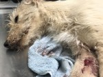 Cruel thugs dump dog and leave it for dead after using him as bait