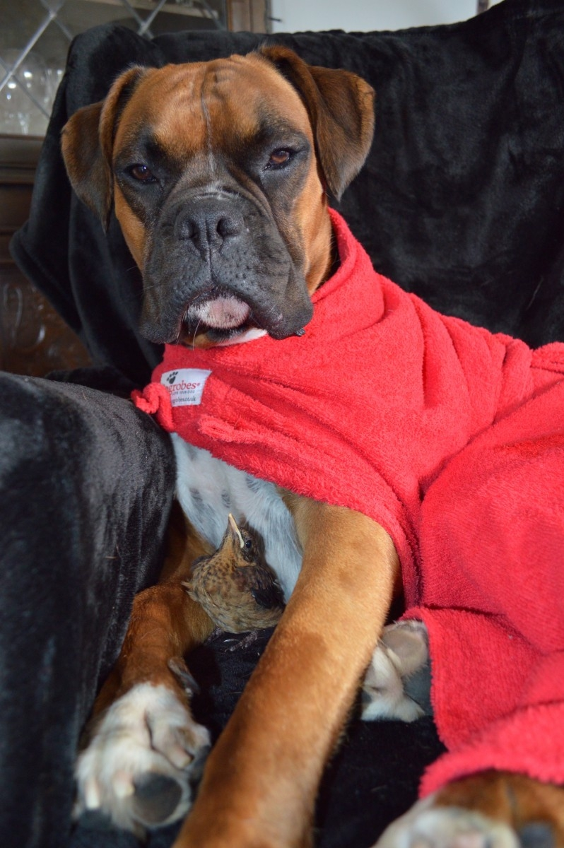 Two-year-old boxer dog Rusty has taken this little orphaned bird under his wing