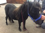 Maggie the miniature pony found dumped and badly injured by RSPCA