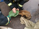 Fire service called in to help FOX trapped in a WATERING CAN
