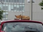 Hilarious pictures show a FOX napping on the top of a car roof
