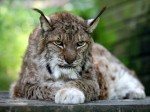 LYNX escapes from Dartmoor zoo