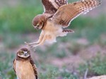 Cute baby owlet practices swooping onto its prey on unsuspecting sibiling