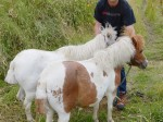 Heartless yobs cut off the tails of two Shetland ponies