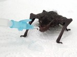 Tiny bat saved with bubble bath after being found covered in glue