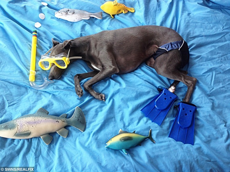 Rupert the whippet dressing up for the recent hot weather