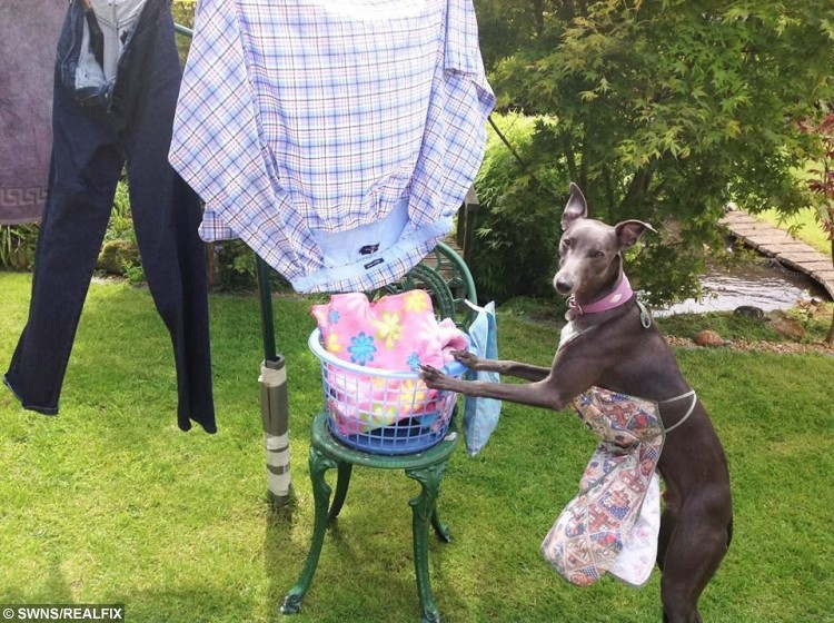 Rupert the whippet dressing up for the recent hot weather.
