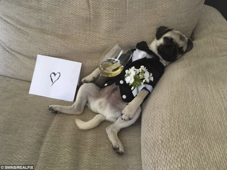 Chief the Pug puppy who has become an internet sensation just two months after joining Instagram.