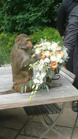 This is the hilarious moment a groom surprised his bride at their wedding ceremony with a surprise ring-bearer a MONKEY.