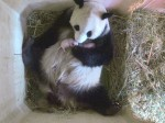 Adorable panda twins born in Austrian Zoo