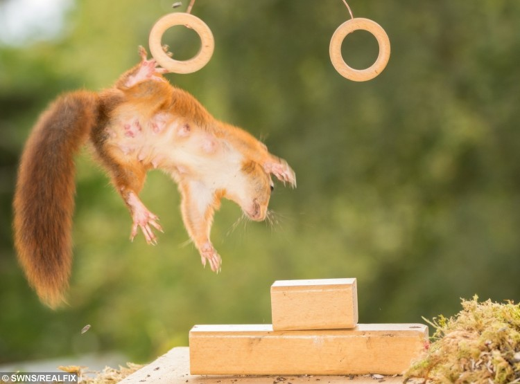 These amazing pictures show red squirrels enjoying their own Olympics - posing with different sports items - the rings