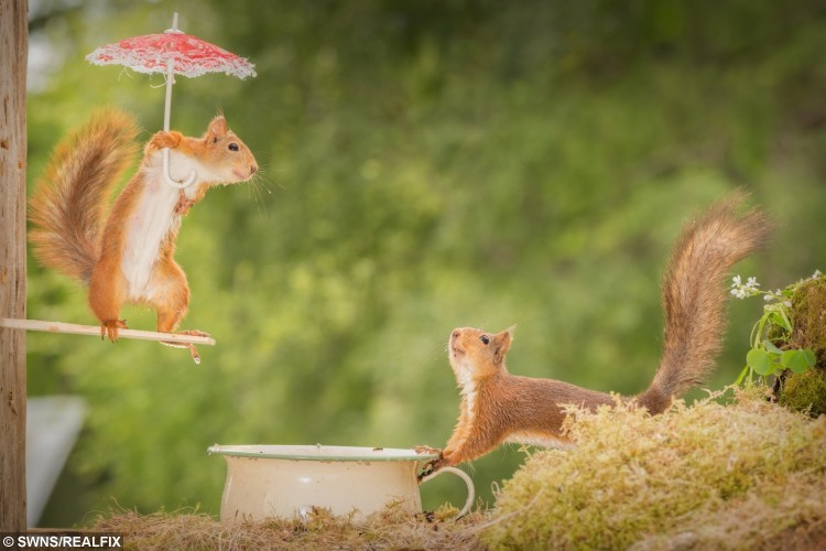 These amazing pictures show red squirrels enjoying their own Olympics - posing with different sports items - Diving.