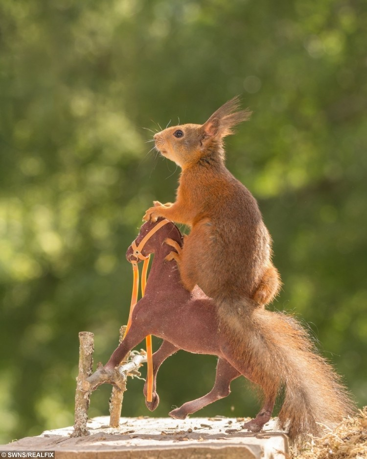 These amazing pictures show red squirrels enjoying their own Olympics - posing with different sports items - horse jumping