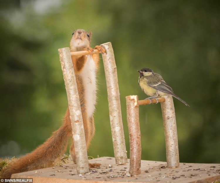 These amazing pictures show red squirrels enjoying their own Olympics - posing with different sports items - asymmetric bars