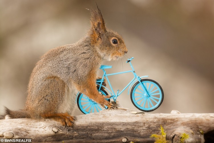 These amazing pictures show red squirrels enjoying their own Olympics - posing with different sports items - cycling.