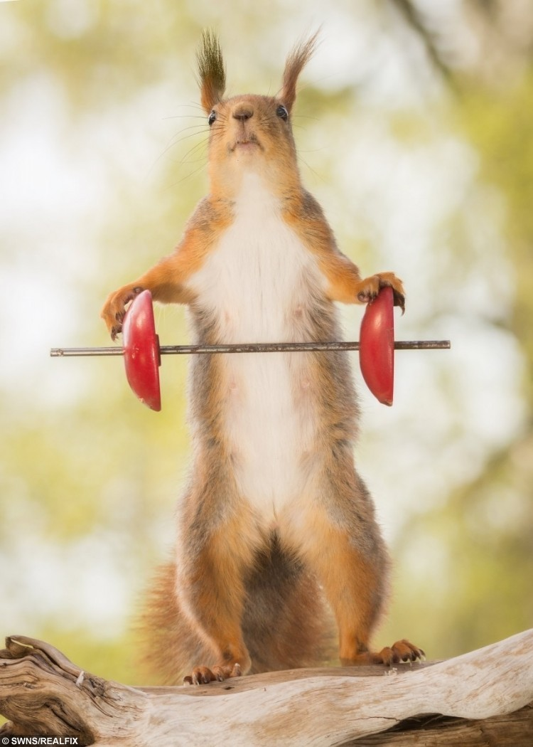 These amazing pictures show red squirrels enjoying their own Olympics - posing with different sports items - weightlifting.
