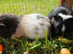 Guinea pigs called Tikka and Masala which were dumped at pet shop with a curry and naan bread need loving family