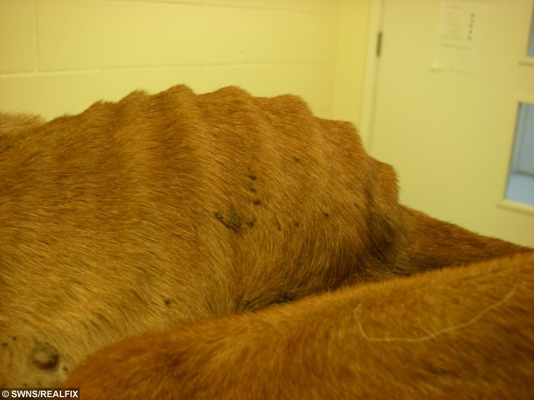 Mistreated German Shepherd Queenie who weighed only 7.5 kilos, half the weight she should when found by RSPCA inspectors.