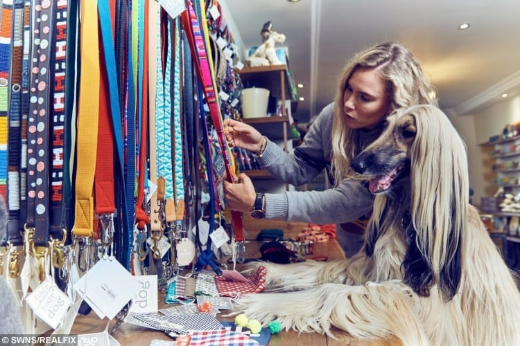 Autumn, an afghan hound, chooses between leads shown by Holly Johnson, the Manager of Hair of the Dog, a pet groomers and boutique in Highgate, London
