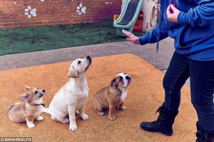 Genevieve Parsons, owner of The Sudbury Dog Company, Suffolk puts puppies through their paces during a puppy training class