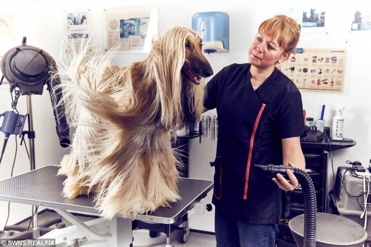 Groomer, Rita Fulop, blow dries Autumn, an afghan hound in Hair of the Dog, a pet groomers and boutique in Highgate, London.