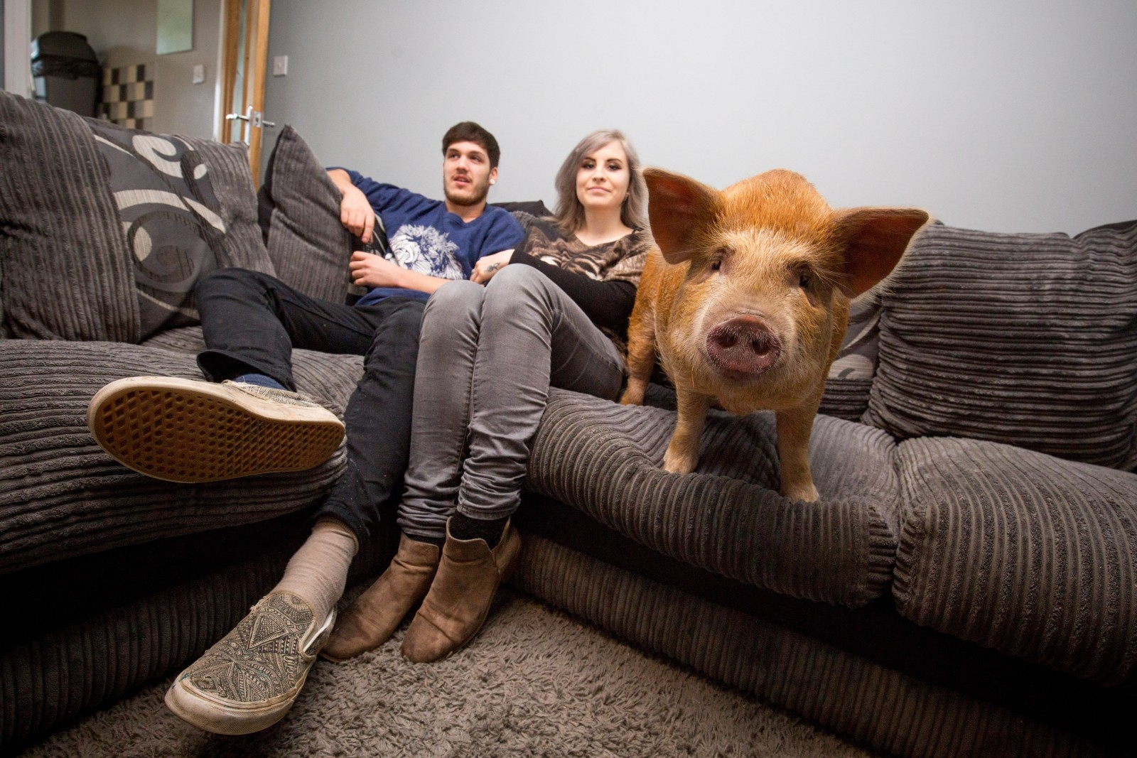 Pampered Pet Pig Spends Days Snuggled On The Sofa Watching