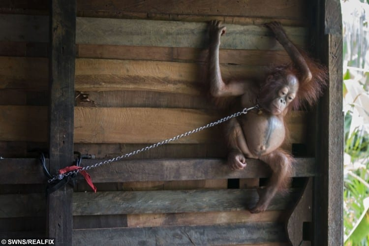 A baby orangutan has been rescued after spending six months chained by the neck to a narrow plank of wood in a family's kitchen.