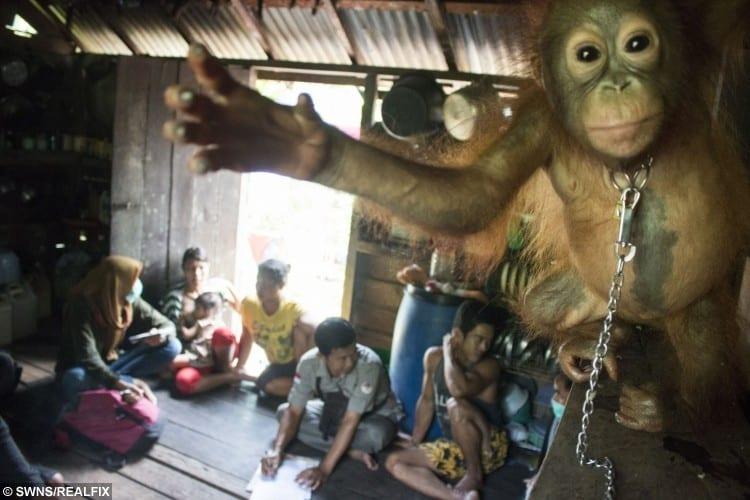 swns_orangutan_rescue_07