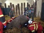 Firefighters Called In With Heavy Lifting Gear To Move A Rhino With Toothache