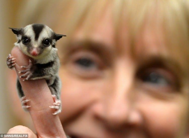 Ranger Jane Campbell admires recently born Sugar glider cubs