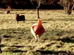 RSPCA Called Out To A Sheep With A Traffic Cone On Its Head