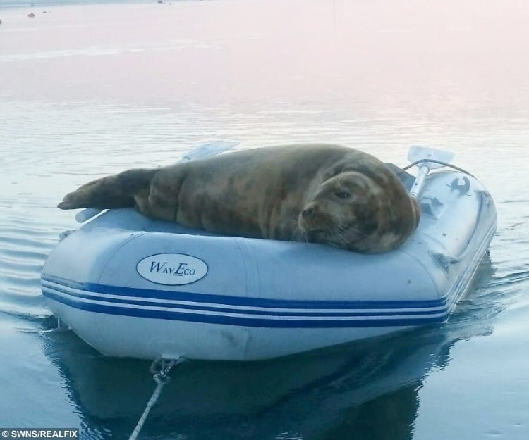 The seal in the dinghy on the River Orwell in Suffolk