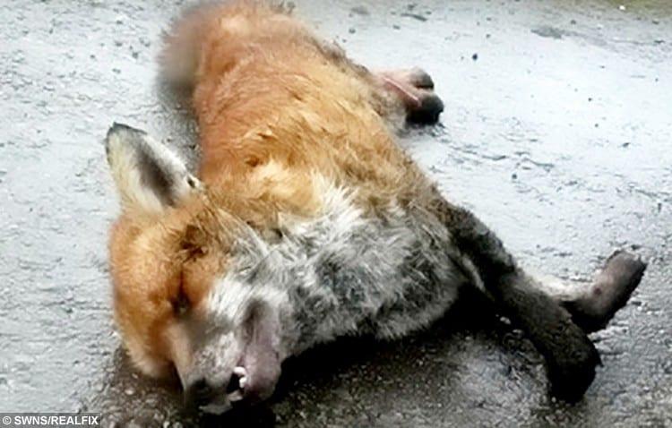 SWNS_FOX_HUNT_04