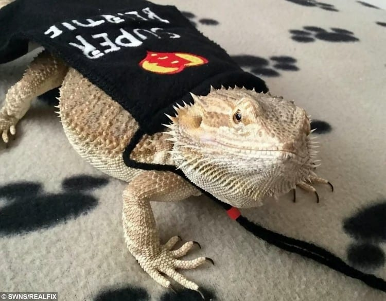 SWNS_BEARDED_DRAGON_06