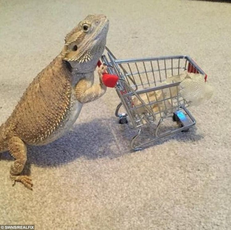 SWNS_BEARDED_DRAGON_08