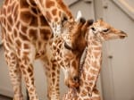 Adorable Pictures Show Proud Mother Giraffe Nursing Her One-Month Old Baby