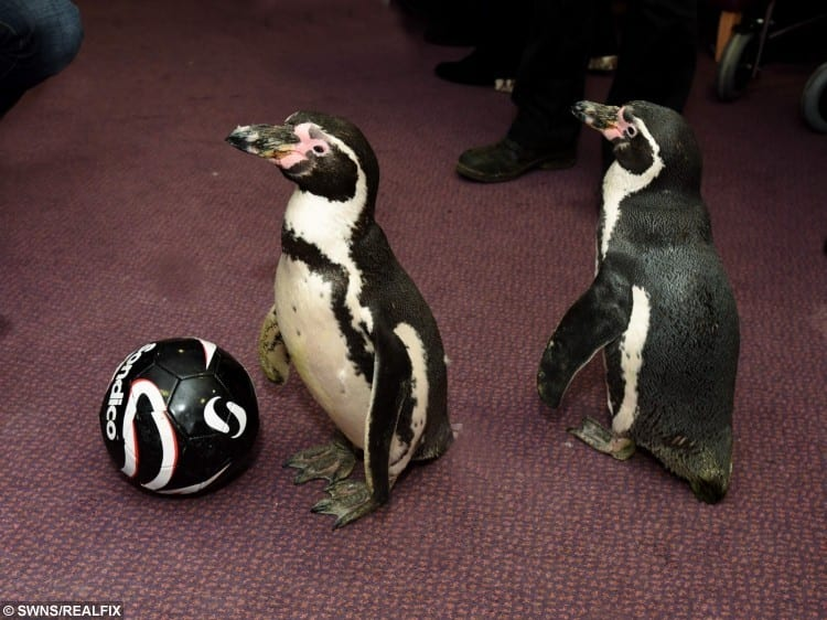 Humboldt Penguins, Pringle and Charlie at Trevone House in Gloucester.