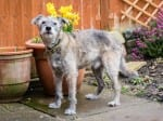 Scruffy Needs A Home! – One Of Britain's Oldest Rescue Dogs Is Looking For A Retirement Home – Aged SEVENTEEN