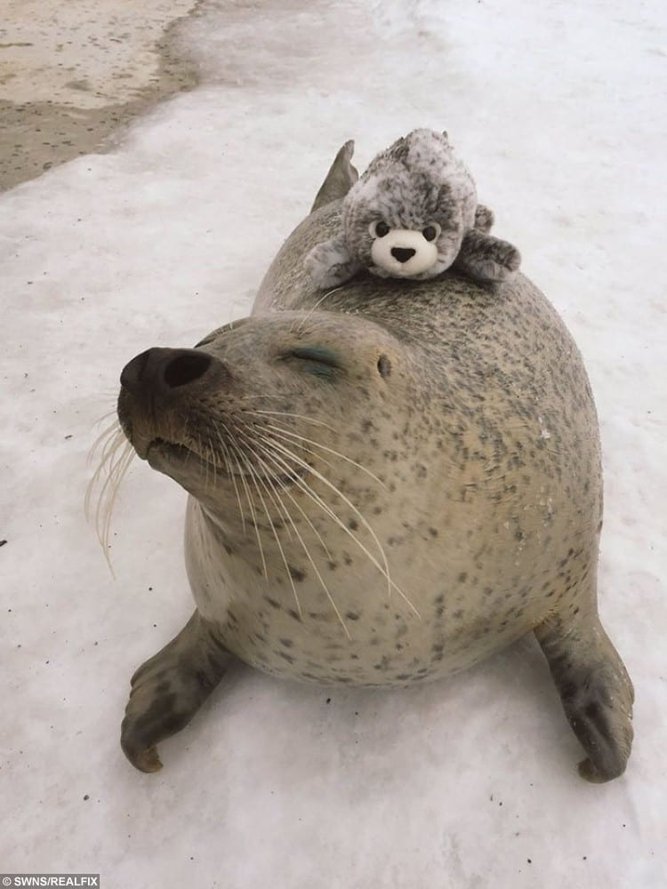 Hiyori the seal with a seal plush toy at Mombetsu Land, an attraction in Japan's Hokkaido district.