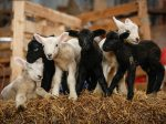 Ewe Defies Million-To-One Odds To Give Birth To Six Black And White Lambs