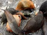 Slime Wave About To Hit Britain As Billions Of Slugs Are Due To Hatch