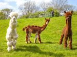 Herd Of Alpacas Given Hilarious Haircuts!