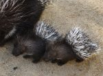 Wildlife Park Welcomes Its First Ever Porcupine Twins