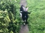 ASBO Goat Wreaking Havoc In Suburb by Breaking Into Gardens And Falling Through Garage Roof
