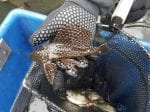 Tropical Catfish Usually Found In Amazon Basin Has Been Discovered In A Black Country Canal