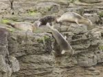 Terrifying Footage Shows Colony Of Panicked Seals Flinging Themselves Off Cliff Edge